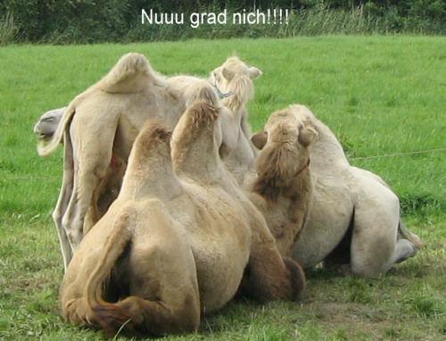 Kamele1.jpg