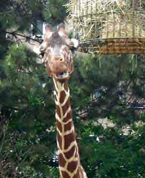 Giraffe(12KB).jpg