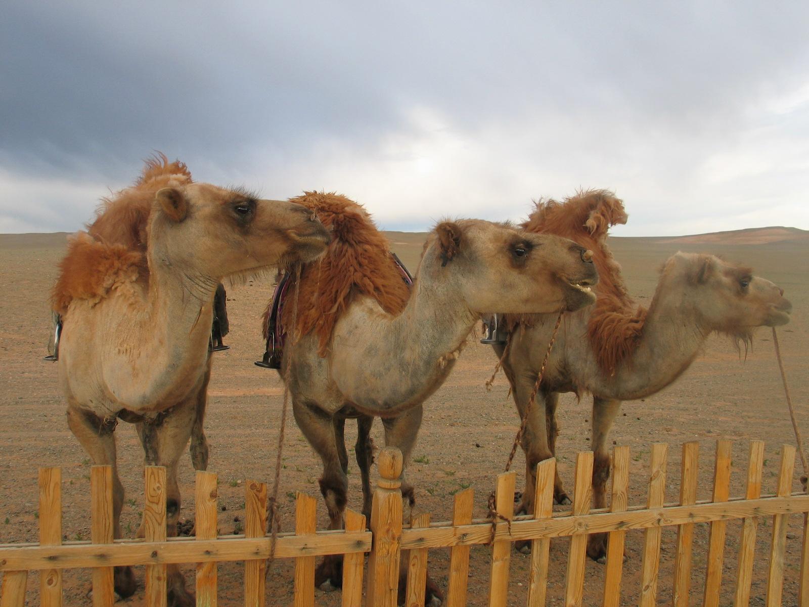 Drei mongolische kamele.JPG