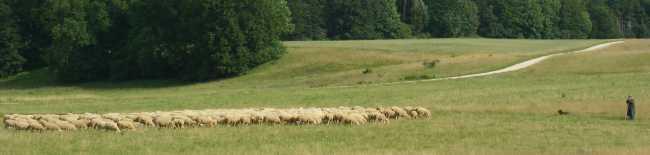 Schafzusammenrottung.jpg