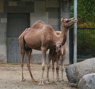 Berlina Kamel mit Jör.jpg