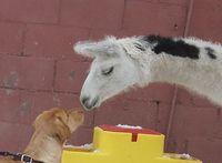 Kamel zähmt Bluthund