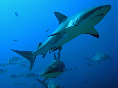 Haifische.jpg