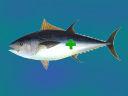 Grünkreuzthunfisch.jpg