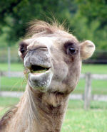 482px-Bactrian.camel.smiles.arp.jpg