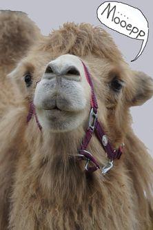 Möepp-Kamel.jpg