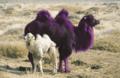 Lila-kamel.png